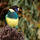 "Australian Ringneck ""Port Lincoln Parrot"" by Robert Elliott"