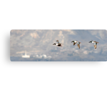 Northern Shoveler - Flight Sequence Canvas Print