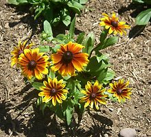 Gloriosa Daisy - Black Eyed Susan Flowers by Wanda  Mascari