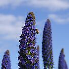 Purple Echium by melbourne