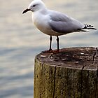 seagull by Martin Pot
