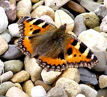 Small Tortoiseshell by Lee Kerr