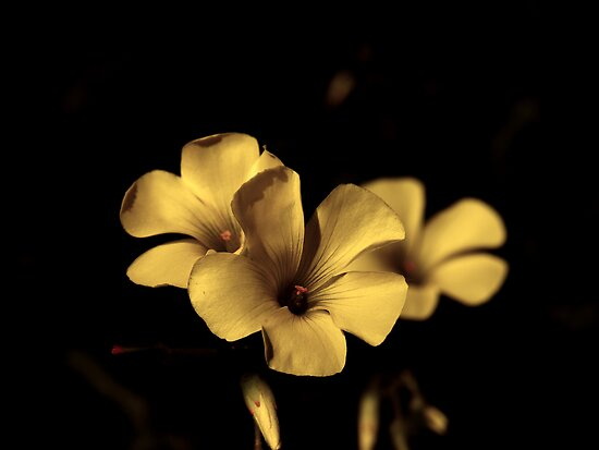 Experiments in a Sepia Flower by Kieran  Connellan