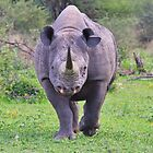 Black Rhino Bull - Powerful Me by LivingWild