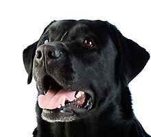 Black Labrador retriever by JH-Image