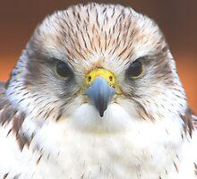 Saker Falcon  by jdmphotography