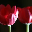 Tulip Duo by Lesley Smitheringale