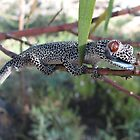 Golden-tailed Gecko, Strophurus taenicauda by Dave Fleming
