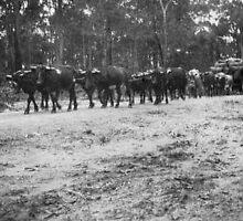 Bullock Team on NSW South Coat Circa 1930's by Maximus