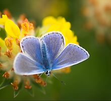 Common Blue Butterfly Common Blue Butterfly (Polyommatus icarus) University of Limerick by Gerard  Horan