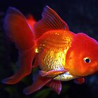Fancy Goldfish  by Johnny Furlotte