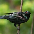 Metallic Starling by Jade Welch
