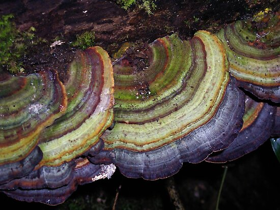 Bracket Fungi by Jordan Miscamble