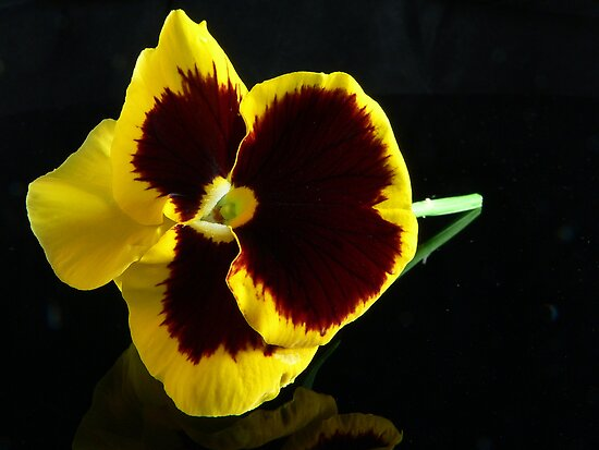 Yellow/Brown Pansy by Tom Newman