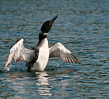 Common Loon by Michael Cummings
