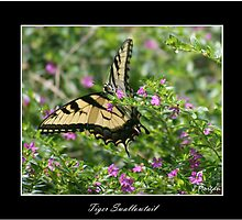 Tiger Swallowtail by Julie's Camera Creations <><