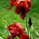 Red iris in bloom by AndrewBlake