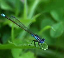 dragon fly by teegs