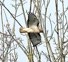 Hawk In Flight by Kat Miller