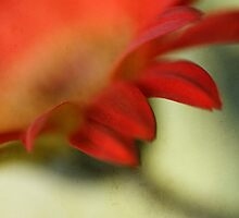 Gerbera Daisy Abstract by jpulley