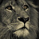 Lion by rosswoodphoto