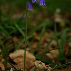 Single Bluebell in Prehen Woods, Derry by George Row