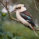 Kookaburra#1 by johnrf