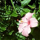 Pink Hibiscus by Carolyn Bishop