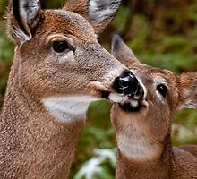 White Tailed Deer and Baby by Michael Cummings