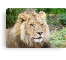 122014 lion Canvas Print
