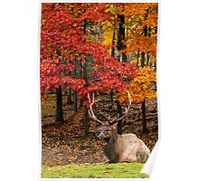 Bull Elk In Autumn Forest Poster