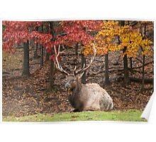 Bull Elk In Autumn Poster