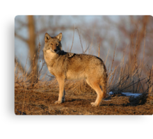 Coyote Hunting - Stoney Creek Ontario, Canada Canvas Print