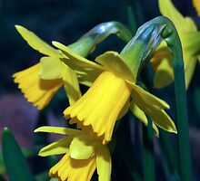 daffodils by David s Ellens
