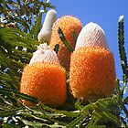 Orange Banksia by eramophla