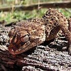 Knob-tailed Gecko by Dave Fleming