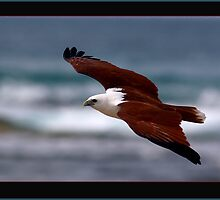 Brahminy Kite by Norman Winkworth