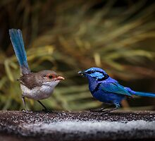 Blue Wrens by robcaddy