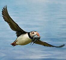 Puffin with catch by Tarrby