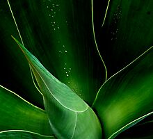 Droplets on the Aloe  by Liv Stockley