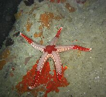 Starfish Massacre (its a bloody mess!) by Michael Powell