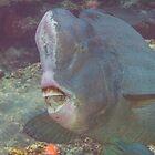 Bumphead Parrotfish by Mark Rosenstein