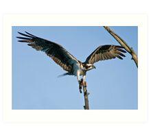 Osprey - Ottawa, Ontario Art Print