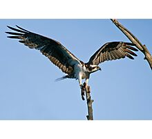 Osprey - Ottawa, Ontario Photographic Print