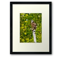 Osprey on Tree - Ottawa, Ontario Framed Print