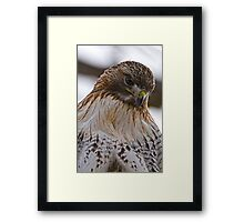 Red Tailed Hawk Portrait - Presqu'ile Park Framed Print