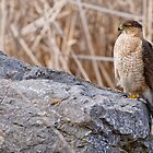 Coopers Hawk - Ottawa, Onterio by Michael Cummings