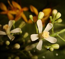 Neem Flower by Gowar