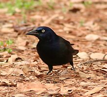Zommon grackle by brianhbradley
