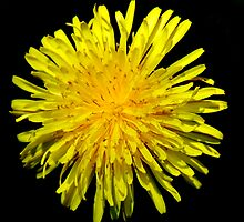 A Dandy Dandelion by Stephen Maxwell